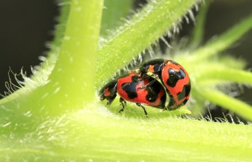 Ladybug mating in the gardens in close up
